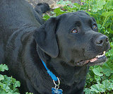 1. Labrador Retriever