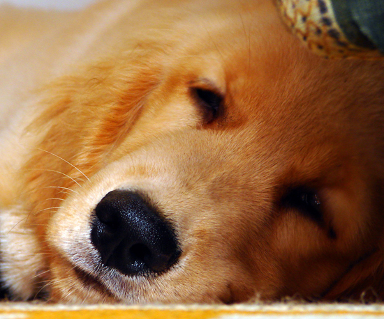 4. Golden Retriever