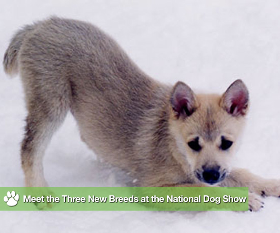 Meet the Three New Breeds Debuting at the National Dog Show
