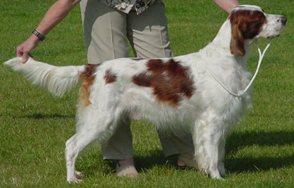 Meet the Breed: Irish Red and White Setter