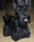Facts About Scottish Terriers