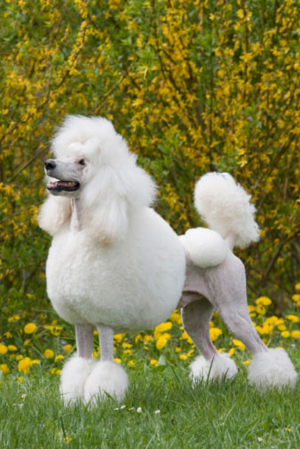 "Try Using the Word ""Poodle"" in a Professional Sentence"