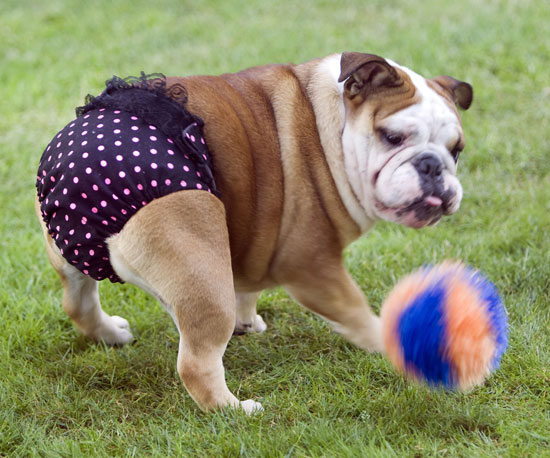 12 Absolutely Hilarious, but Absorbent Undies For Pets