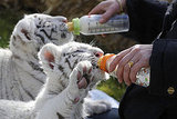 White Tiger Babies Rico and Kico Born in Germany