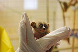 Pygmy Slow Loris Vs. Slow Loris