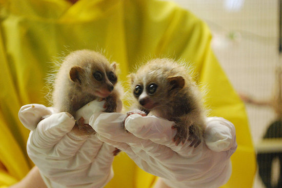 4 Fun Facts About the Slow Loris