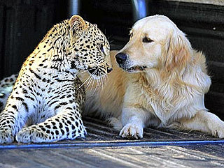 A Leopard and a Golden Retriever Fall in Love and Other Pet Links