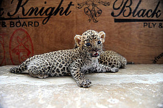 Pictures of Baby Leopards