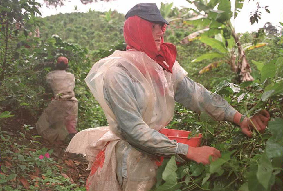 Coffee cherries are picked at the time of harvest.
