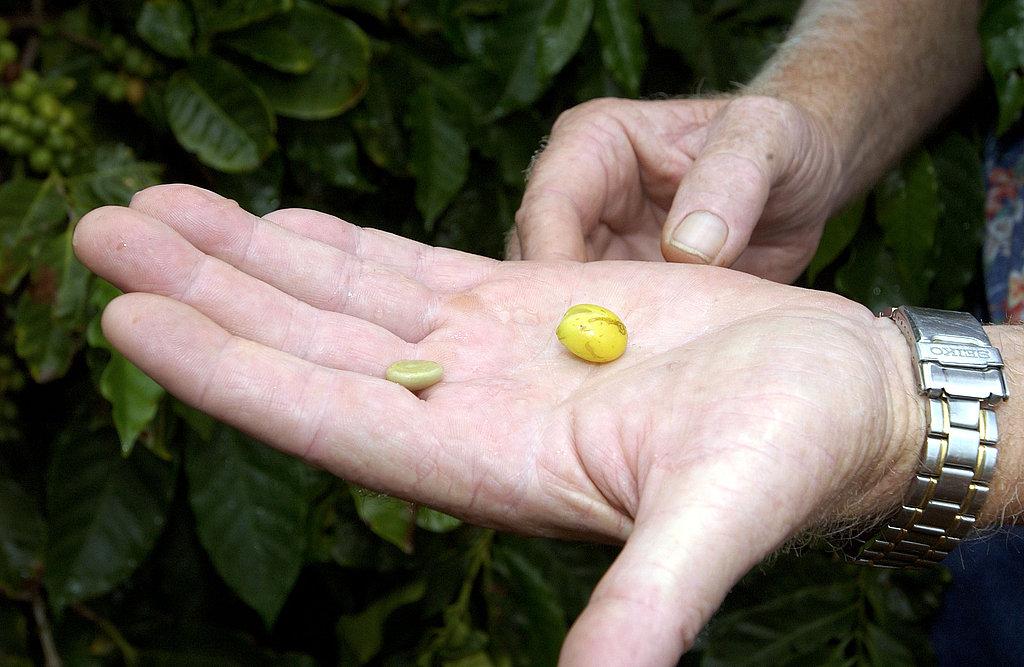 Coffee beans are extracted from coffee cherries in a stage known as processing.