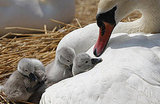 Photos of Baby Cygnets