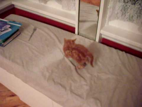 Video of Kitten Attacking Mirror