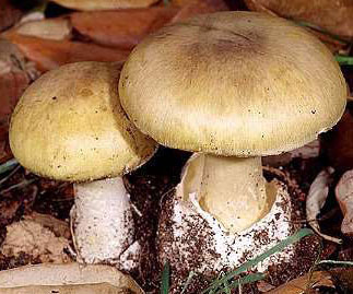 Danger, Danger, Death Cap Mushrooms