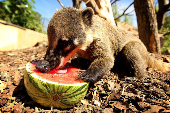 Watermelon Sweet Treats For Ring-Tailed Coatis