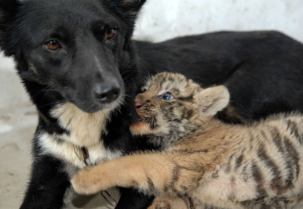 Dog Nurses Lions and Tigers, Oh My Adorableness!