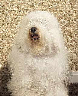 Old English Sheepdog Trivia