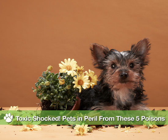 Toxic Shocked! Pets in Peril From These 5 Poisons