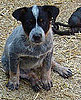 Australian Cattle Dog Trivia