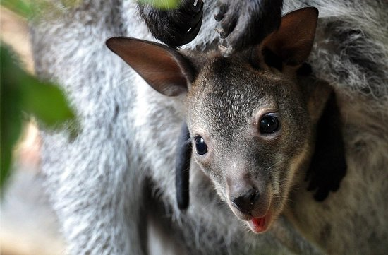 Not Kangaroos! 5 Fun Facts About the Wallaby