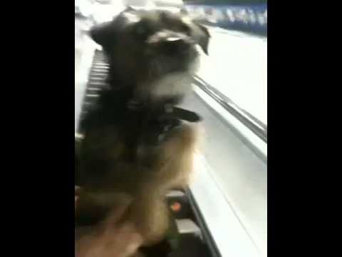 Video of Dog on Escalator