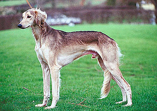 Saluki Breed Facts