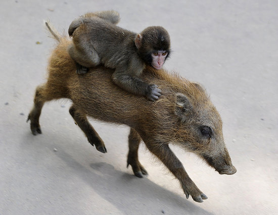 Monkey Hangs Around on a Piggy Back
