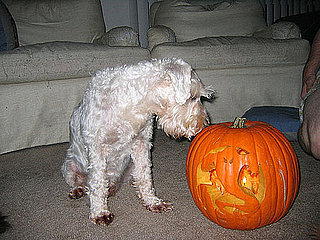 Don't Feed Dogs Old Pumpkins