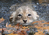 Swim Lesson For Lion