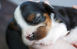 This pooch fits (and naps) in the palm of your hand. Source: Flickr user Robert Hoge