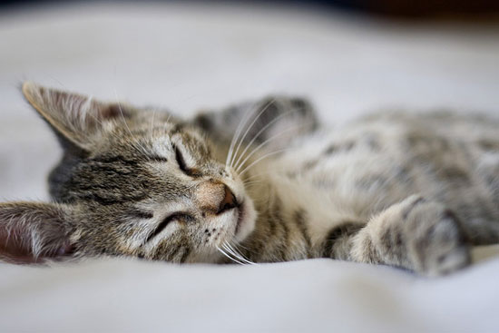 Just doing what kittens do best — napping and looking cute. Source: Flickr user digitonin