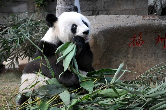 Happy 30th Birthday, Panpan Panda!