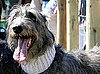 Scottish Deerhound Breed Facts