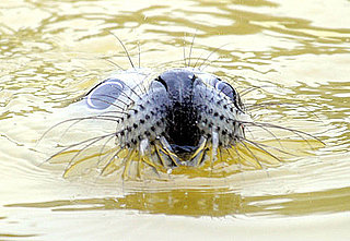 Gray Seal Facts