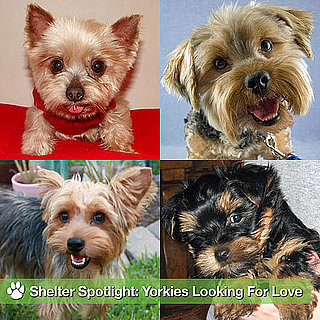 Pictures of Yorkshire Terriers Available For Adoption