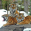Pictures of Tigers in the Snow
