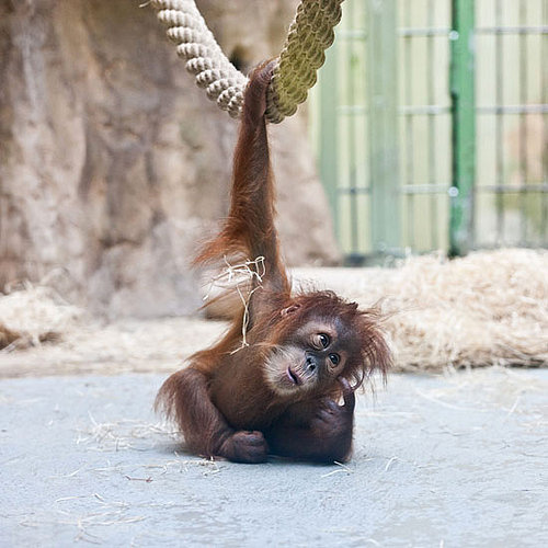 Pictures of Baby Orangutan at the Dresden Zoo