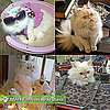 Pictures of Fashion Kitty Luna the Persian Kitty Who Loves to Wear Clothes
