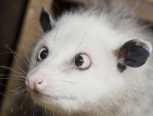 Cross-Eyed Opossum Tries to Predict 2011 Oscars