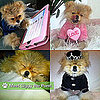 Pictures of Giggy the Pom From The Real Housewives of Beverly Hills
