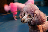 A purple poodle waits backstage at Isaac Mizrahi.