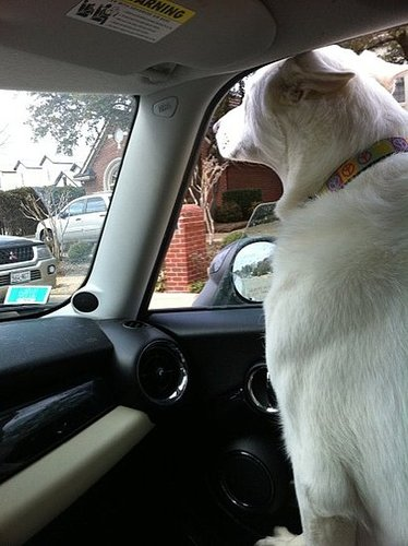 Opinions: Pro/Anti Car Window Down with Your Pup in the Car?