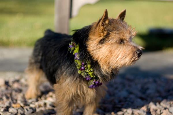 At this New England wedding the couple's Norwich Terrier Archie was dressed with flowers.  Photo by Creative Image Collections