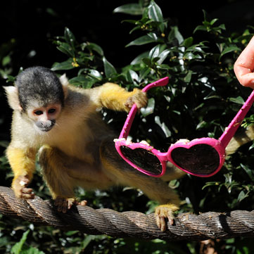 Squirrel Monkeys Stealing Sunglasses