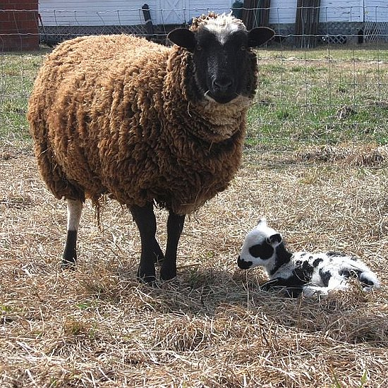 Welcome to the World, Baby Lamb!