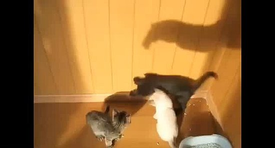 Watch These Kitties Chase a Shadow!