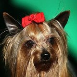 Pictures of Dog Hairstyles