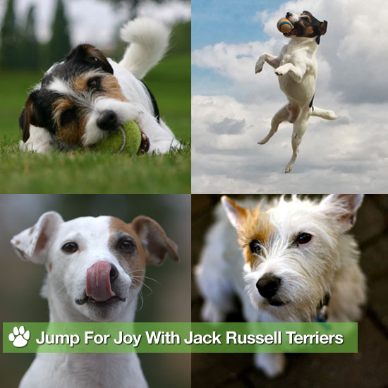 Jump For Joy With Jack Russell Terriers