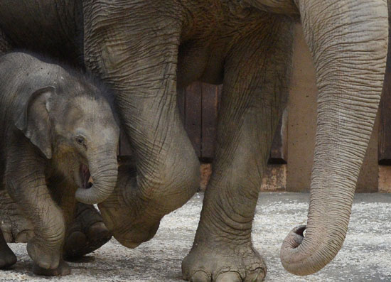Elephants' pregnancies last longer than any other animal, a whopping 22 months!