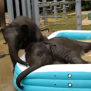 Baby Elephants in Pool
