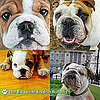 English Bulldog Pictures